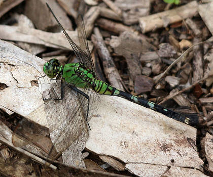 Dragonfly by Monica Lahr