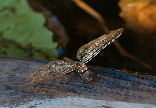 Dragonfly by Wesley Allen Shaw