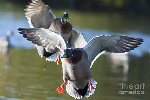 Dramatic Ducks by Andrew  Michael