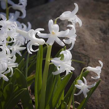 Teresa Mucha - Dreamy White Hyacinth Squared