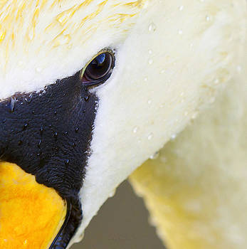 Steven Poulton - Droplet Swan