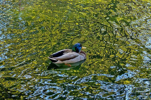 Duck on the water by Margaretha Brooks