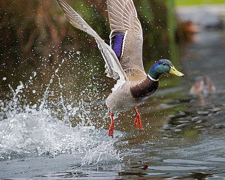 Duck Take-off by Sasse Photo