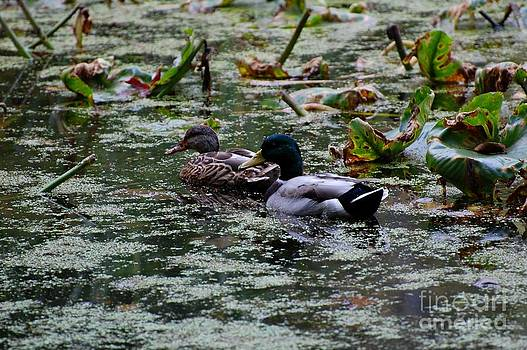Ducks by Marsha Thornton