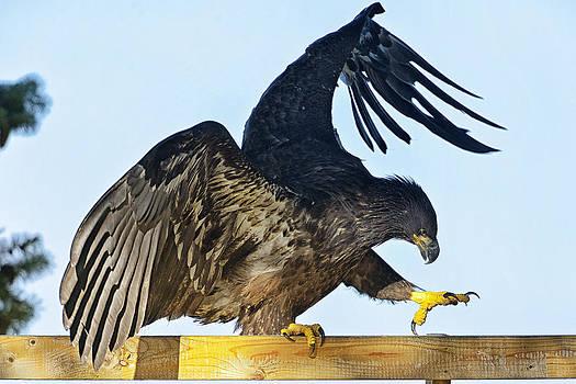 Eagle Balance by Sasse Photo