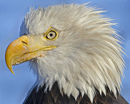 Eagle portrait from side by Sasse Photo