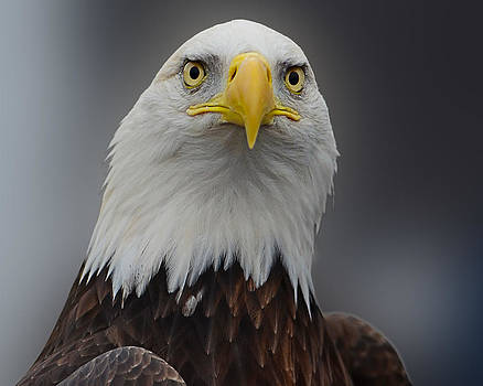 Eagle protrait from front -close by Sasse Photo