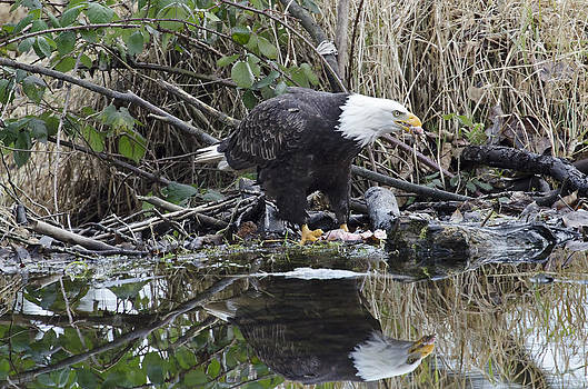Eagle with salmon and reflection by Sasse Photo