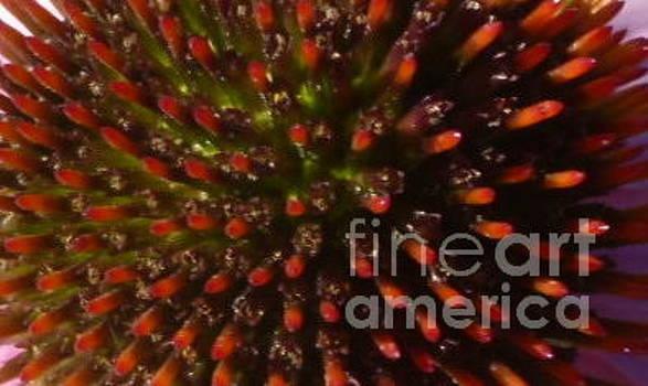 Sue Wild Rose - Echinacea