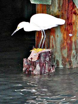 Egret fishing by John Collins