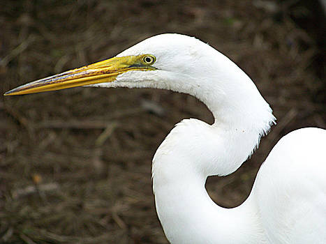Egret Portrait by Stephen Janko