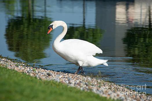 Elegant swan by Andrew  Michael