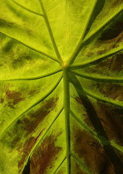 Elephant Ear Leaf by Lyle Hatch