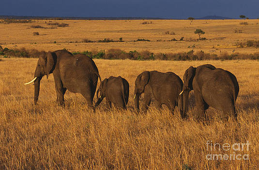 Sandra Bronstein - Elephant Family - Sunset Stroll