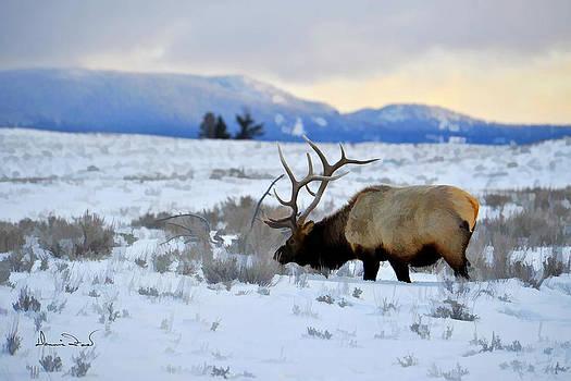 Elk in Yellowstone by Dennis Fast
