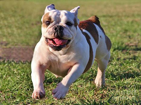 English Bulldog Running by Wendy Ohlman