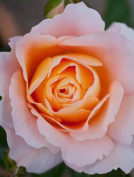 English Rose by Aidan Minter