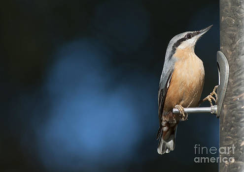 Eurasian nuthatch by Andrew  Michael