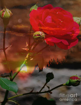 Evening Rose by Dwayne Cain
