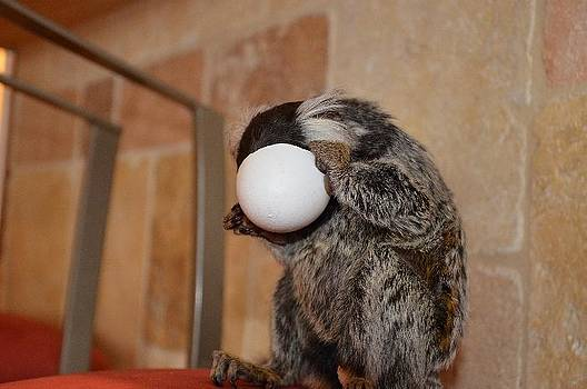 Evolution Of The Motorcycle Helment Chewy The Marmoset by Barry R Jones Jr
