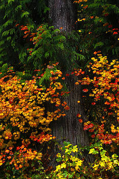 Fall Tree and Foliage by Tj Voelker