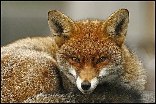 Fantastic Mr Fox by Jacqui Collett
