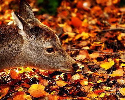 Simon Bratt Photography LRPS - Fawn in Autumn