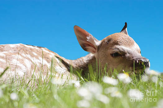 Simon Bratt Photography LRPS - Fawn laying in field