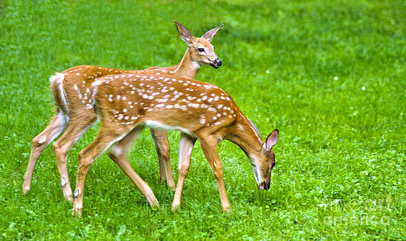 Fawns In The Field by Pat Carosone