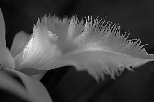 Feathery Petal by Cheryl Cencich