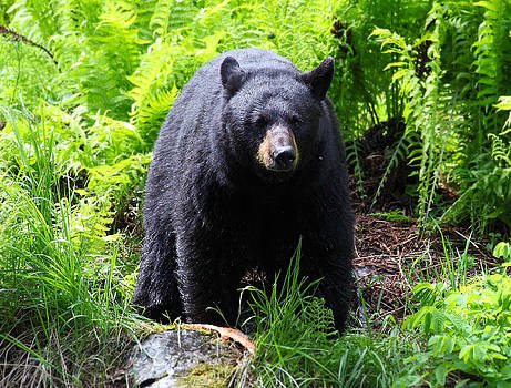 Female Black Bear by Wyatt Rivard