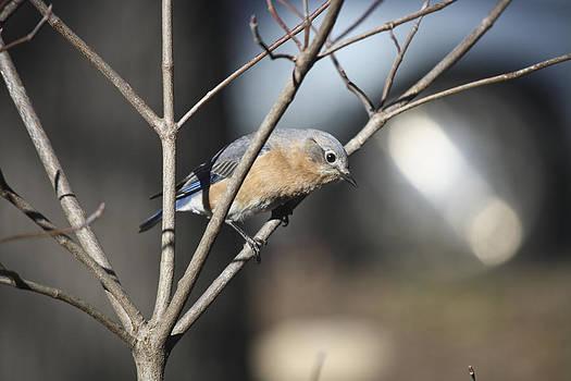 Teresa Mucha - Female Bluebird