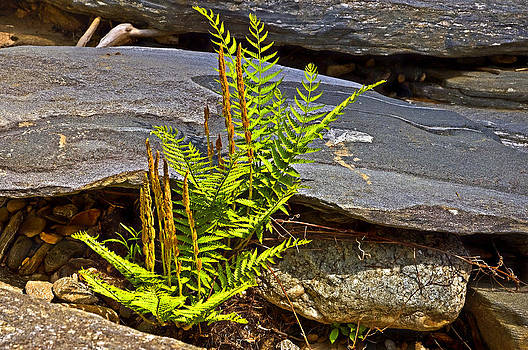 Fern and Rocks by Susan Leggett