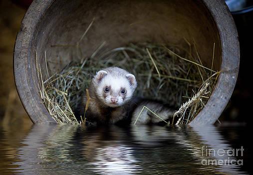 Simon Bratt Photography LRPS - Ferret in a pot