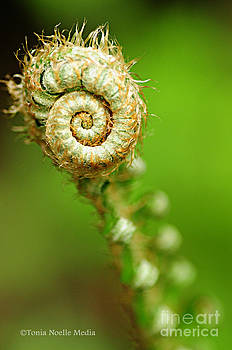 Fiddlehead by Tonia Noelle