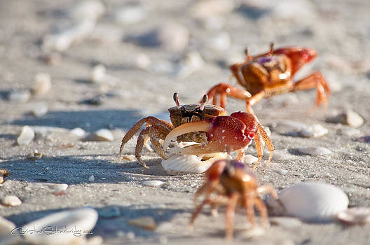 Fiddler Crab Conga Line by Christine Stonebridge