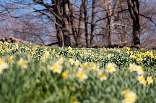 Field of Daffodils by Ron Smith