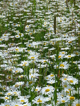 Sue Wild Rose - Field of Daisies