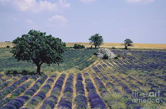 BERNARD JAUBERT - Field of lavender. Sault. Vaucluse