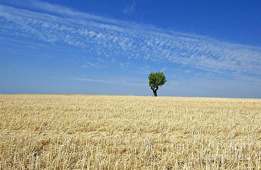 BERNARD JAUBERT - Field of wheat in Provence