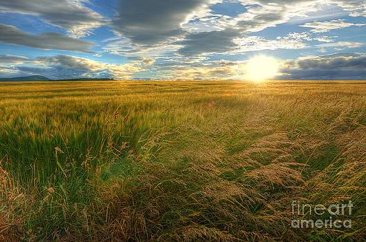 Fields of Gold by John Kelly