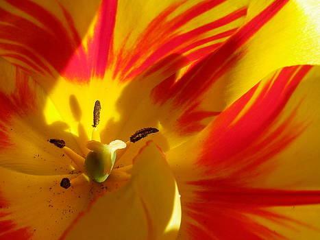 Fire Tulip by Sarah Egan