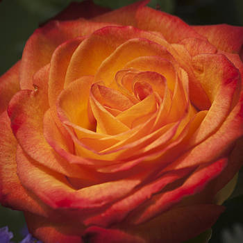 Teresa Mucha - Flame Rose Squared 1