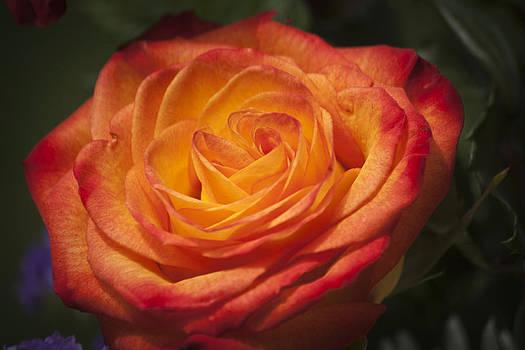 Teresa Mucha - Flame Rose Study 1