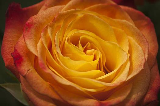 Teresa Mucha - Flame Rose Study 4