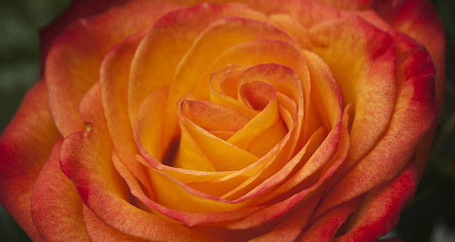 Teresa Mucha - Flame Rose Study 6