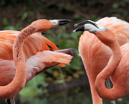 Flamingo Fight by Monica Lahr