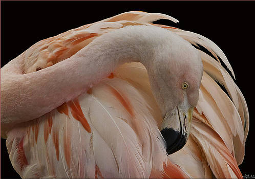 Flamingo in Inverted 4th Postion by Stephen EIS