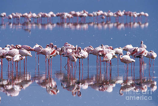 Sandra Bronstein - Flamingo Reflection - Lake Nakuru