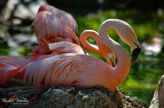 Flamingos by Rachele Morlan